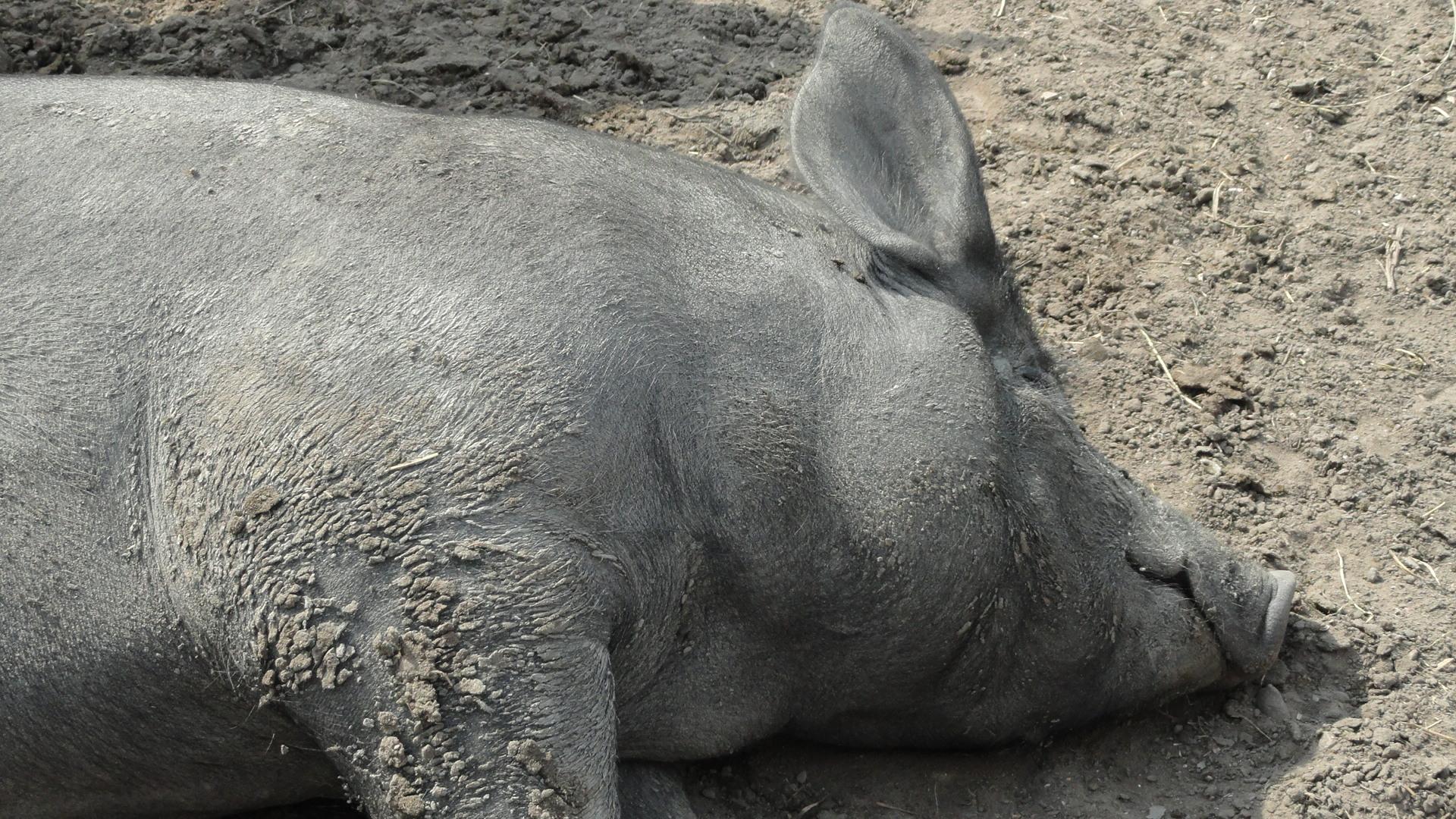 Amsterdamse Bos - Un cochon heureux