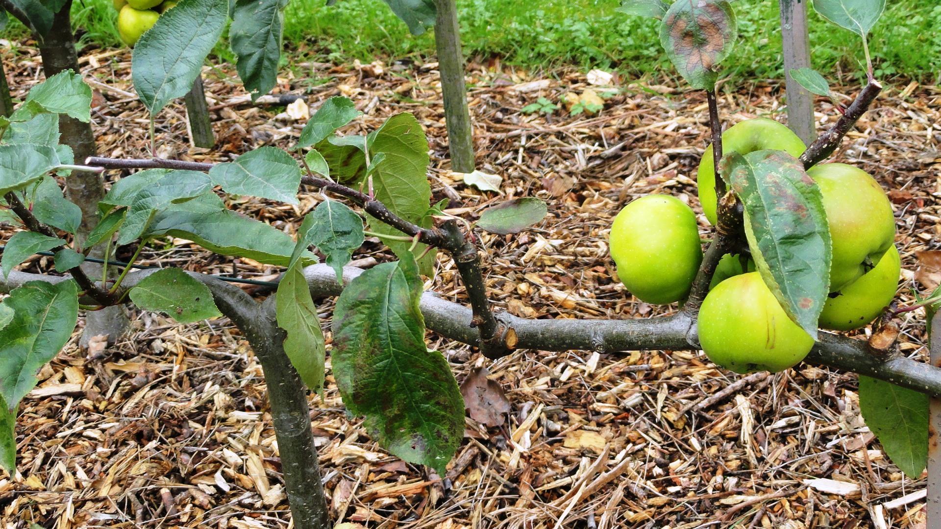 Jardins Albert Kahn - Verger - Pommes