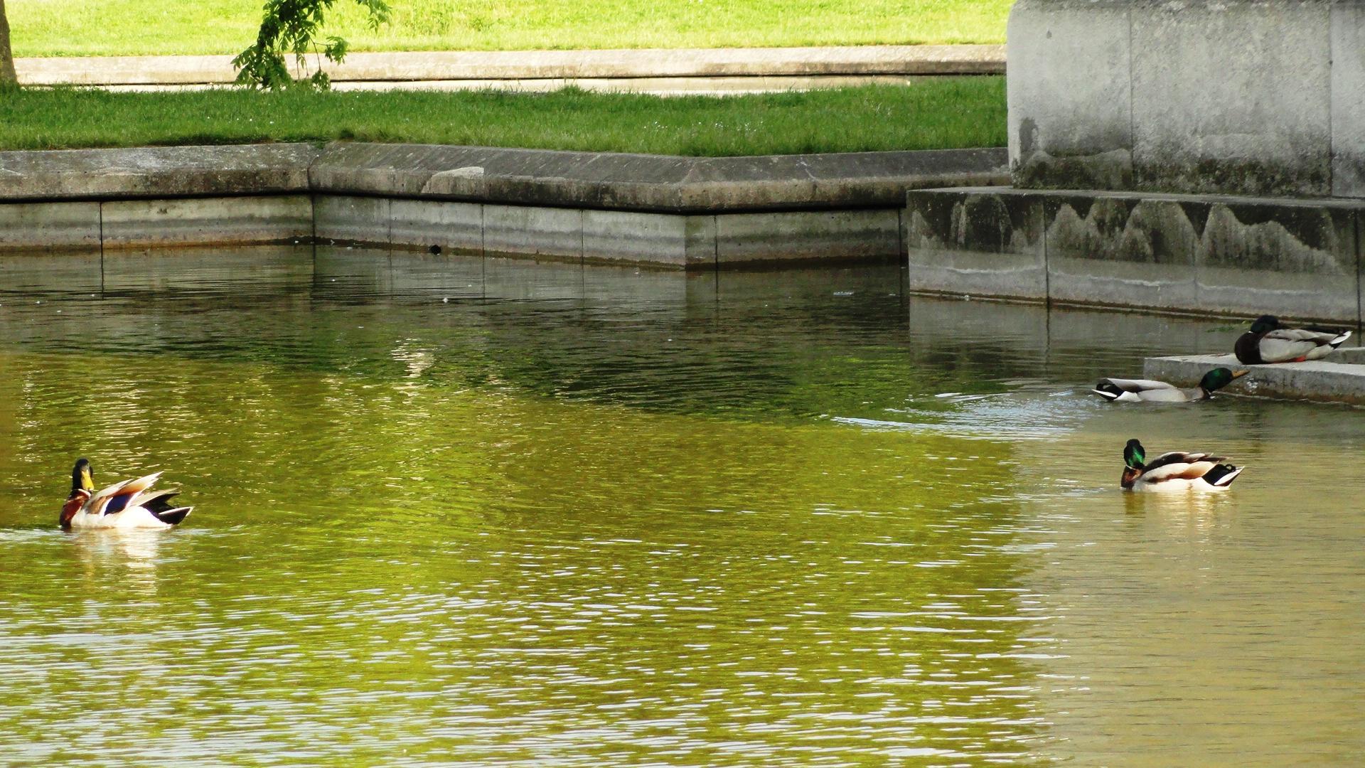 Parc Georges Brassens - Bassin - Canards Colverts