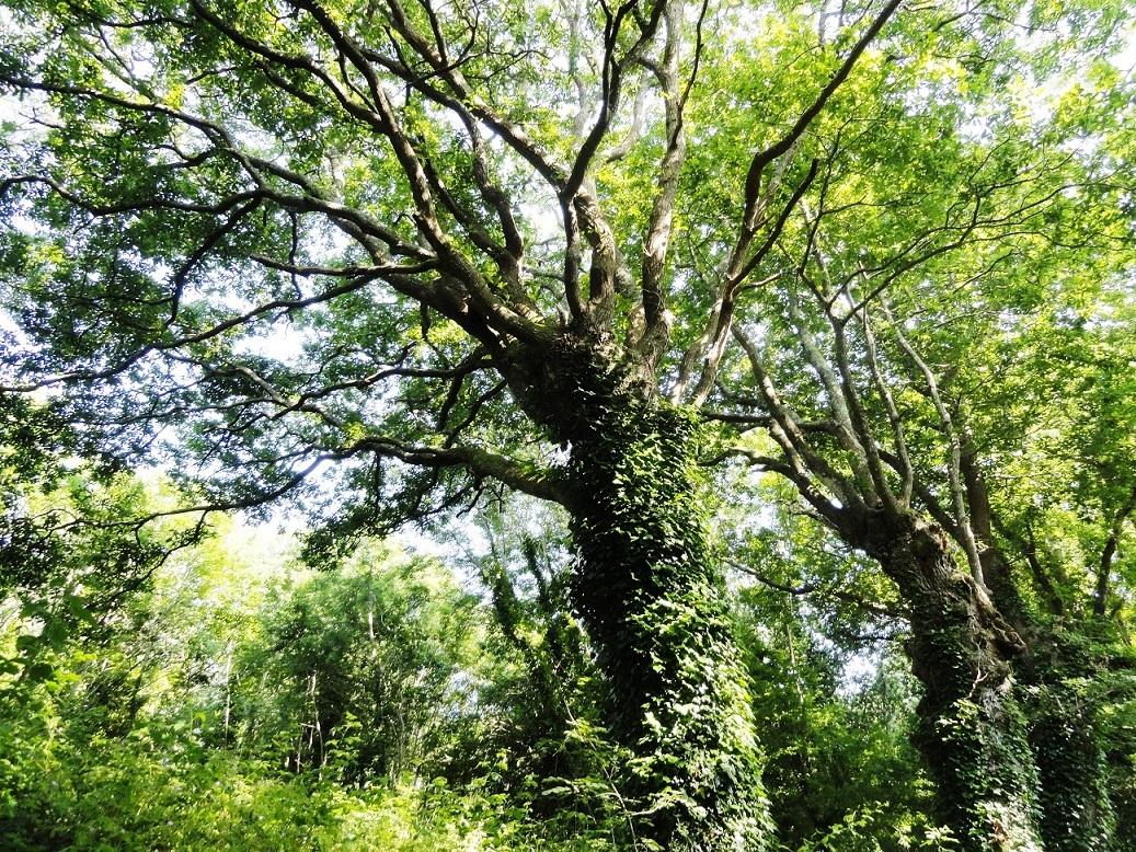 Les Chemins creux - Cime des arbres