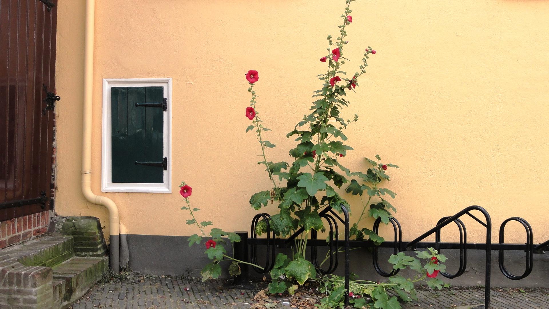 Utrecht - Roses trémières