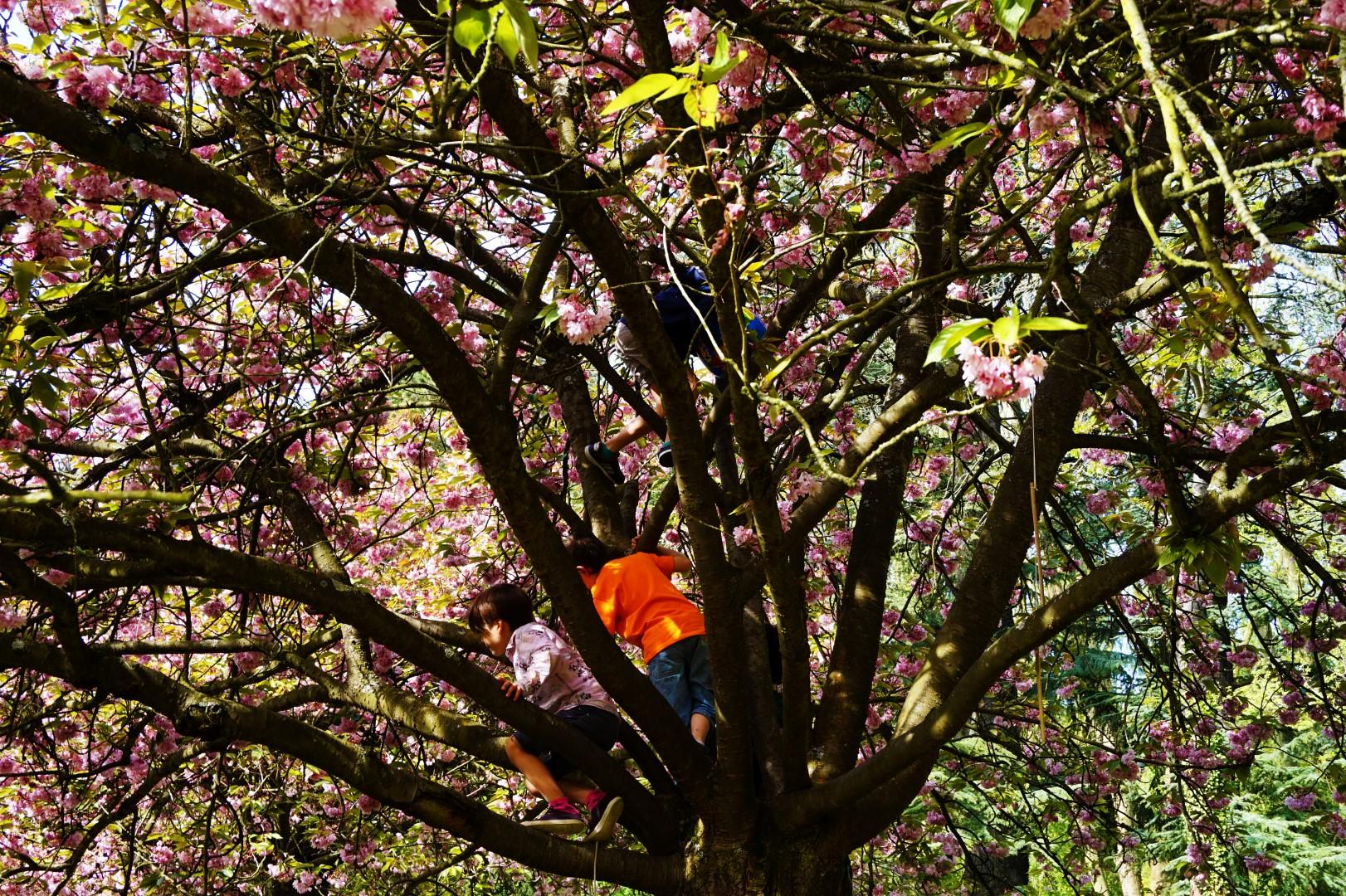 Morceaux de Paris #7 - Cerisiers du Parc de Sceaux